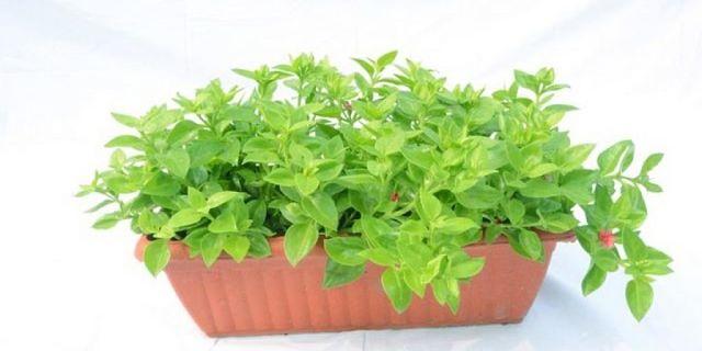 Maggiorana coltivata in vaso