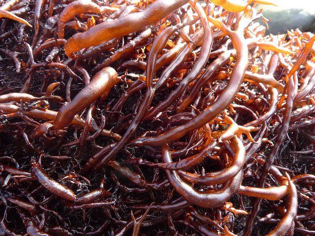 Alghe Hiziki allo stato naturale