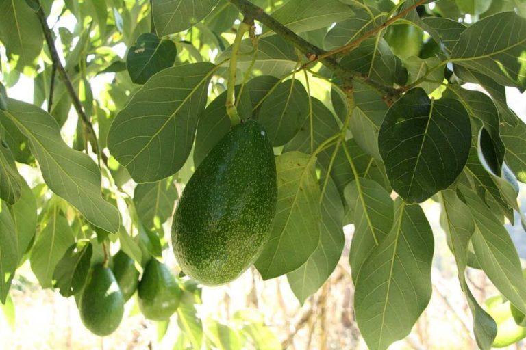 Frutto dell'avocado sulla pianta