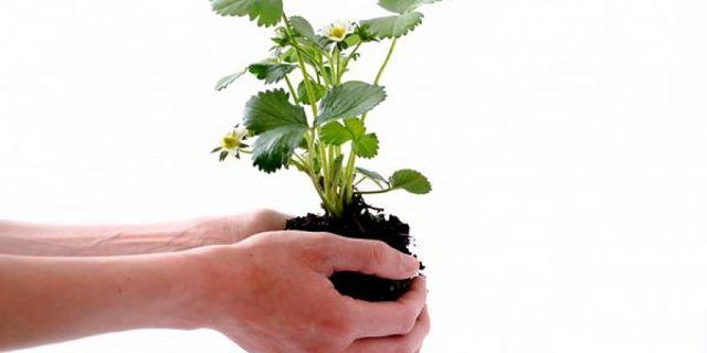 Fotografia di pianta da rinvasare tenuta tra le mani