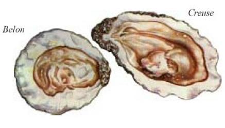 Ostrica piatta e ostrica convessa