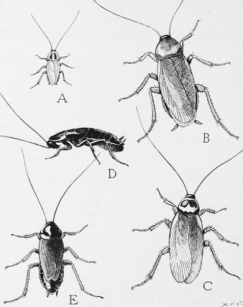 Specie di scarafaggi comuni in Italia