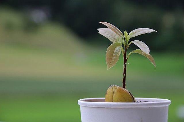 Avocado coltivato in casa partendo dal seme
