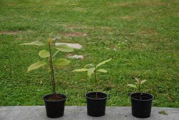 3 piante di Persea americana a diversi stadi di crescita