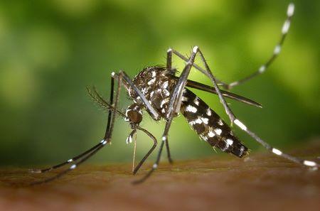 Ingrandimento di zanzara tigre