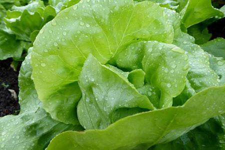 Cespo di lattuga fresca con foglie verdi ricche di clorofilla