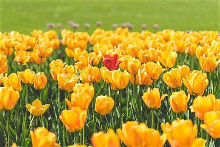 Coltivazione di tulipani gialli olandese