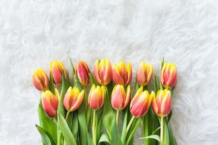 I tulipani gialli e rosa di moda al momento risaltano particolarmente su sfondi bianchi