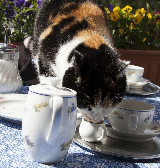 Gatto beve latte nella lattiera della prima colazione