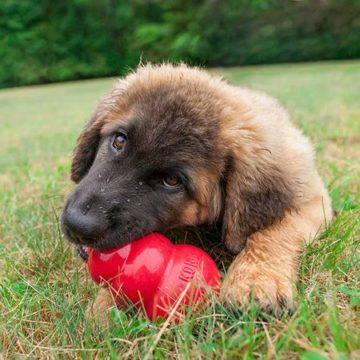 Cane morde il Kong per arrivare al cibo contenuto dentro al giocattolo