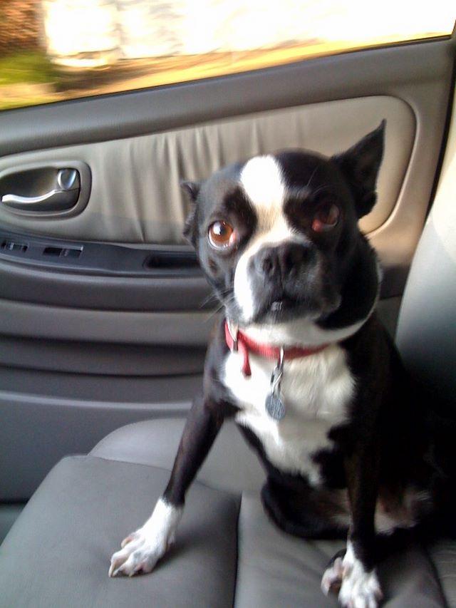Cane tranquillo nell'abitacolo dell'automobile