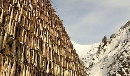 Stoccafisso messo a essiccare su graticci all'aperto in inverno