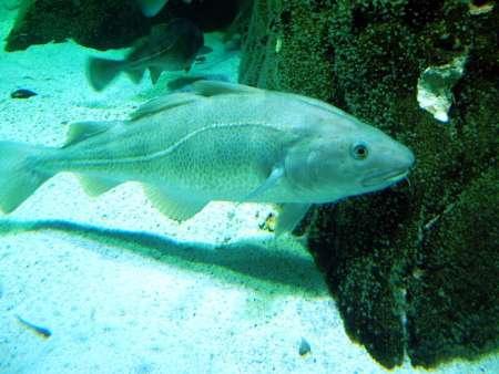 Merluzzo Gadus morhua nouta nel mare