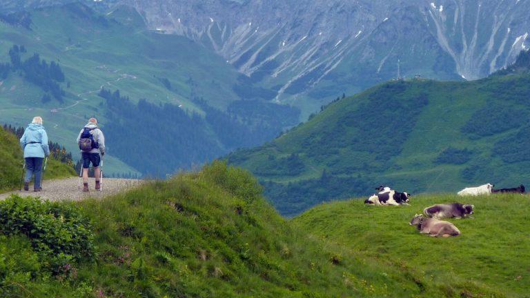 Escursionisti fanno trekking a debita distanza dalle mucche al pascolo