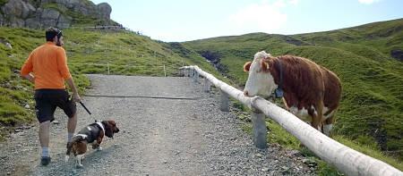 Mucca incuriosita gurda un cane tenuto al guinzaglio dal padrone