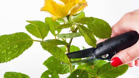 Come tagliare una rosa con cesoie disinfettate