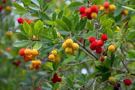 Crbezzoli maturi rossi e corbezzoli acerbi gialli sull'albero